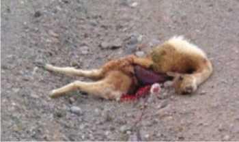 Una Pobre Vicuña atropellada, por algún conductor IRRESPONSABLE
